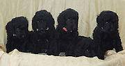 5 one month old black miniature poodle puppies facing camera.