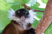 Madagascar, Nosy Tanikely Island Black Lemur (Eulemur macaco) on a tree
