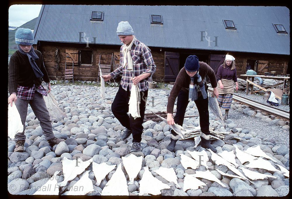 Teenagers lay saltfish on rocks to dry them in sun at maritime folk museum in Isafjordur. Iceland