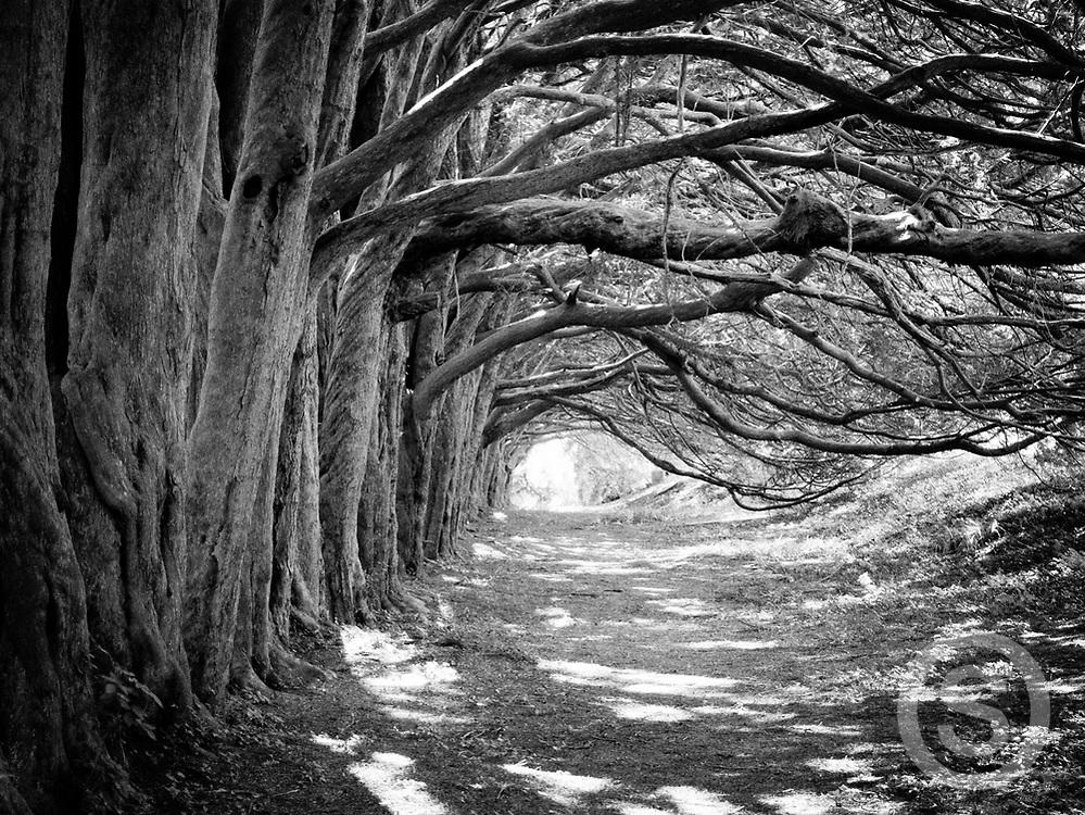 Photographer: Chris Hill, Yew Tree Walk, Huntington Castle, County Carlow