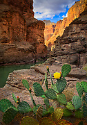 """Prickly Pear cactus at the mouth of Havasu Canyon, Grand Canyon National Park<br /> .....<br /> The Grand Canyon is a steep-sided canyon carved by the Colorado River in the state of Arizona in the United States. It is contained within and managed by Grand Canyon National Park, the Hualapai Tribal Nation, the Havasupai Tribe and the Navajo Nation. President Theodore Roosevelt was a major proponent of preservation of the Grand Canyon area, and visited it on numerous occasions to hunt and enjoy the scenery.<br /> The Grand Canyon is 277 miles long, up to 18 miles wide and attains a depth of over a mile. Nearly two billion years of Earth's geological history have been exposed as the Colorado River and its tributaries cut their channels through layer after layer of rock while the Colorado Plateau was uplifted. While the specific geologic processes and timing that formed the Grand Canyon are the subject of debate by geologists, recent evidence suggests that the Colorado River established its course through the canyon at least 17 million years ago. Since that time, the Colorado River continued to erode and form the canyon to its present-day configuration.<br /> For thousands of years, the area has been continuously inhabited by Native Americans who built settlements within the canyon and its many caves. The Pueblo people considered the Grand Canyon (""""Ongtupqa"""" in the Hopi language) a holy site, and made pilgrimages to it. The first European known to have viewed the Grand Canyon was García López de Cárdenas from Spain, who arrived in 1540."""