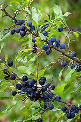 Prunus spinosa growing in a hedgerow - Sloes, Blackthorn, Buckthorn, Bullace, Snag