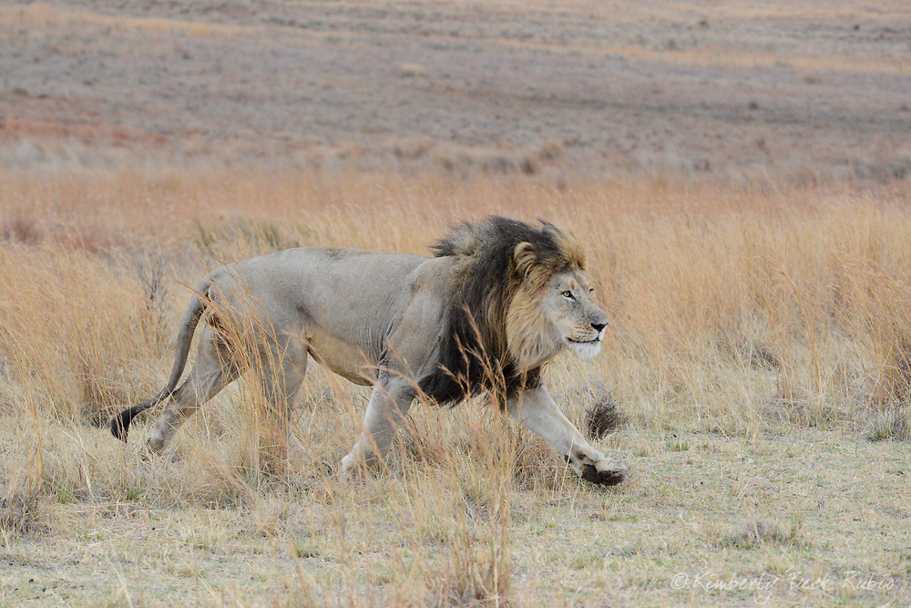 Large male lion purposefully striding across the savannah on an overcast day during the dry season. Welgevonden Game Reserve, Limpopo Province, South Africa.