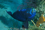 midnight parrotfish, <br /> Scarus coelestinus,<br /> Bahamas ( Atlantic Ocean )