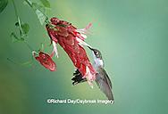 01162-06609 Ruby-throated Hummingbird (Archillochus colubris) immature male on Red Shrimp Plant (Justicia brandegeana)  MS