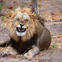 Africa, Botswana, Savute. Lion snarling in Savute, Chobe National Park.