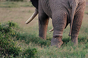 Elephant with wounded leg from poacher's snare, Amboseli National Park, Kenya.