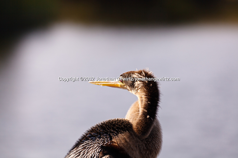 An Anhinga (Anhinga anhinga) on the Anhinga Trail in Everglades National Park, Florida. WATERMARKS WILL NOT APPEAR ON PRINTS OR LICENSED IMAGES.