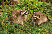 Raccoon (Procyon lotor) foraging for food. Raccoons are native to North America but have been introduced to several European and Asian countries.