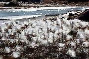 Eriophorum scheuchzeri, Arctic Cotton Grass, flowers near Humboldt Glacier in Kane Basin, West Greenland