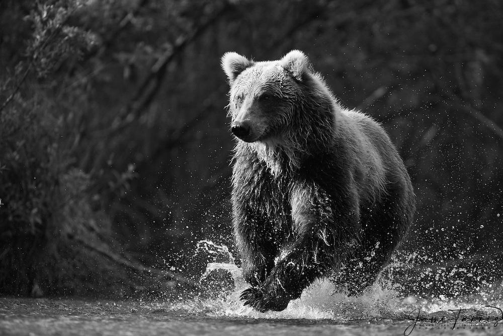 A black and white of a coastal brown bear ( Ursus arctos ) runs through water while fishing, Katmai Peninsula, Alaska