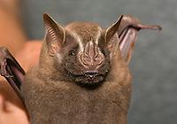 A biologist holds a Big Fruit-eating Bat (Great Fruit-eating Bat), Artibeus lituratus, in Sarapiquí, Costa Rica