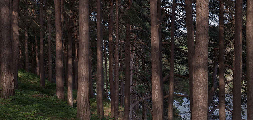 A walk by the upper lake at Glendalough towards the miners village takes you past a long stand of wonderful tall straight pine trees on the left, planted for use as pit props in the lead and zinc mines. When the mining industry stopped, the pines got a lucky break and survive to the present.