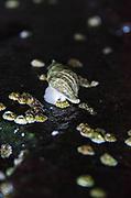 Dog Whelk eating barnacle.