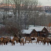 Elk graze in a snowy field near Bozeman, Montana.