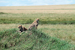 Photo taken on April 11, 2016 shows two cheetahs in Serengeti National Park in northern Tanzania. EXPA Pictures © 2016, PhotoCredit: EXPA/ Photoshot/ Li Sibo<br /> <br /> *****ATTENTION - for AUT, SLO, CRO, SRB, BIH, MAZ, SUI only*****
