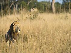 Zimbabwe: Xanda the Lion is Killed - 21 July 2017