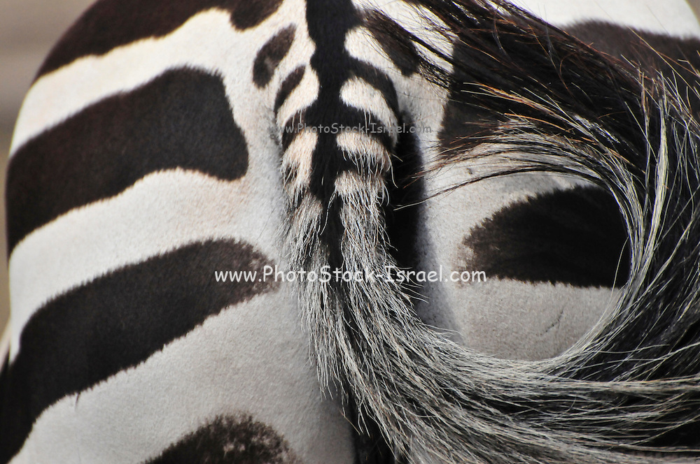 Back view of a Grevy Zebra (Equus grevyi) in captivity .