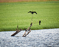 African Darters in a tree. Chobe river, Botswana. Image taken with a Fuji X-T1 camera and 55-200 mm lens.