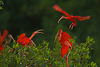Scarlet ibises on their roosting trees on a small mangrove island in the Caroni Swamp.