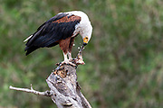 African Fish Eagle (Haliaeetus vocifer) has caught a fish in Kruger NP, South Africa.
