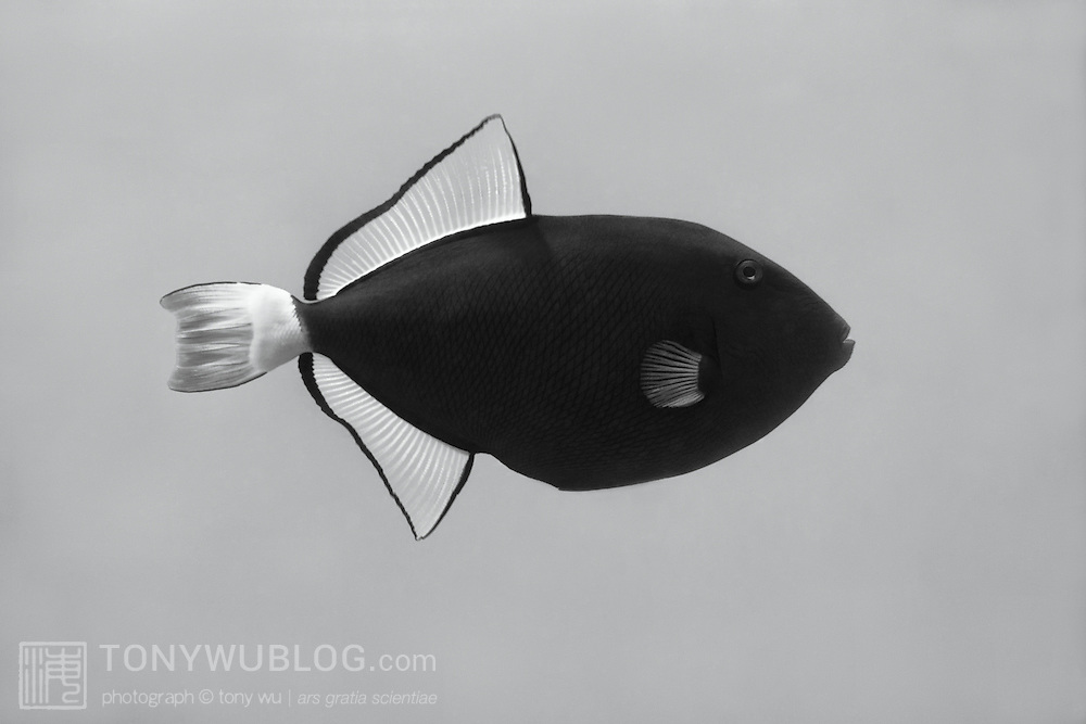 Profile of a pinktail triggerfish (Melichthys vidua) photographed in Palau