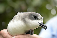 Bermuda Petrel - Pterodroma cahow<br /> being handled by Jeremy Madeiros