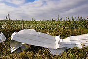 "12 AUGUST 2020 - POLK CITY, IOWA: Aluminum siding from a barn landed on the edge of a corn field in central Iowa. According to Iowa Governor Kim Reynolds, the storm damaged 10 million acres of corn and soybeans in Iowa, about 1 one-third of Iowa's 32 million acres of agricultural land. Justin Glisan, Iowa's state meteorologist, said the storm Monday, Aug. 10, lasted 14 hours and traveled 770 miles through the Midwest before losing strength in Ohio. The storm was a seldom seen ""derecho"" that packed straight line winds of nearly 100MPH. The storm pummelled Midwestern states from Nebraska to Ohio.     PHOTO BY JACK KURTZ"