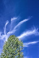 Cirrus intrortus clouds over a cottonwood tree, Colorado plains.