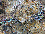 Giant clam, Snorkeling, Coral Garden, Bora Bora, Society Islands, French Polynesia; South Pacific