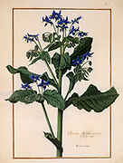 Borrago floribus, borage,  17th century hand painted on Parchment botany study of a from the Jardin du Roi botanical Florilegium of Prince Eugene of Savoy collection, Paris c. 1670 artist: Nicolas Robert