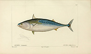 Auxis from Histoire naturelle des poissons (Natural History of Fish) is a 22-volume treatment of ichthyology published in 1828-1849 by the French savant Georges Cuvier (1769-1832) and his student and successor Achille Valenciennes (1794-1865).