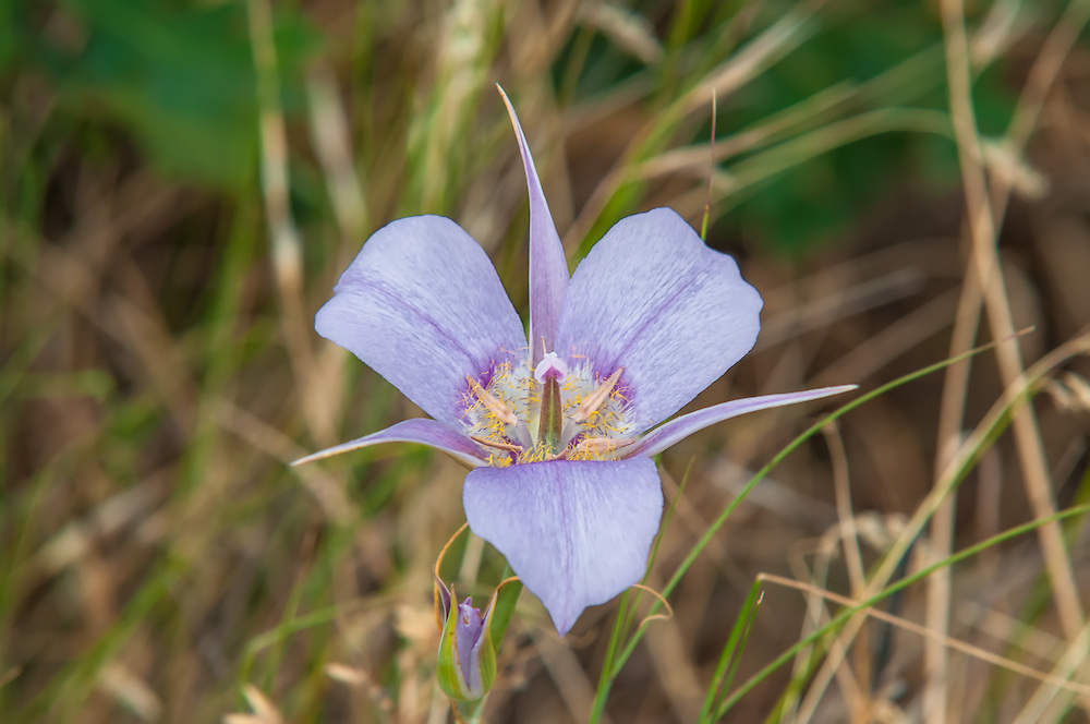 This native mariposa lily is found in all of the western states and British Columbia in Canada. It is found  mostly on eastern slopes of the Cascades where the climate is drier, most often in the higher elevation steppes and grasslands.