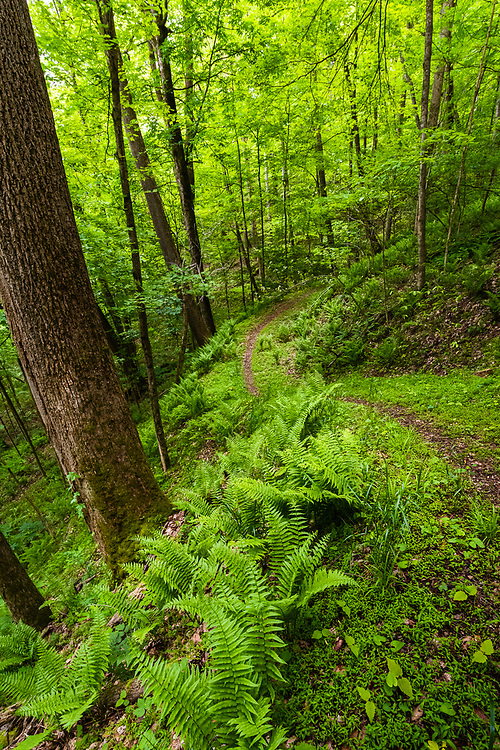 A trail in Chief Logan State Park of West Virginia is surrounded by verdant green woodland of ferns and other vegetation glowing green with early Spring growth.