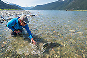 David Page releases a small chinook salmon into the Dean River's tidal estuary.