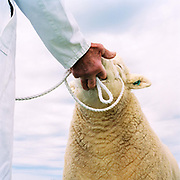 A farmer wearing a white coat shows a sheep with a piece of white rope, Exford Horse Show, Exmoor, Somerset, UK