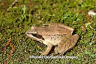 02488-001.13 Wood Frog (Rana sylvatica) Shawnee NF   IL