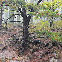 """""""Foggy Forest and Lichen""""<br /> <br /> Beautiful forest of pine trees shrouded in fog along Skyline Drive in Shenandoah National Park!!<br /> <br /> The Blue Ridge Mountains by Rachel Cohen"""