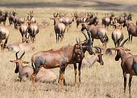 A herd of Topi, Damaliscus lunatus jimela, in Maasai Mara National Reserve, Kenya