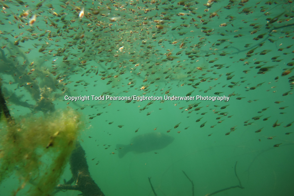 Largemouth Bass Fry<br /> <br /> Todd Pearsons/Engbretson Underwater Photography