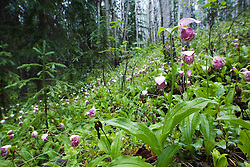 Spotted Lady's Slipper Orchid, Central Yukon