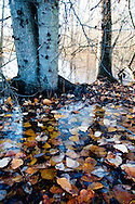 An ice sheet covers fallen Black Cottonwood (Populus trichocarpa) leaves at the Union Bay Natural Area, Seattle, Washington
