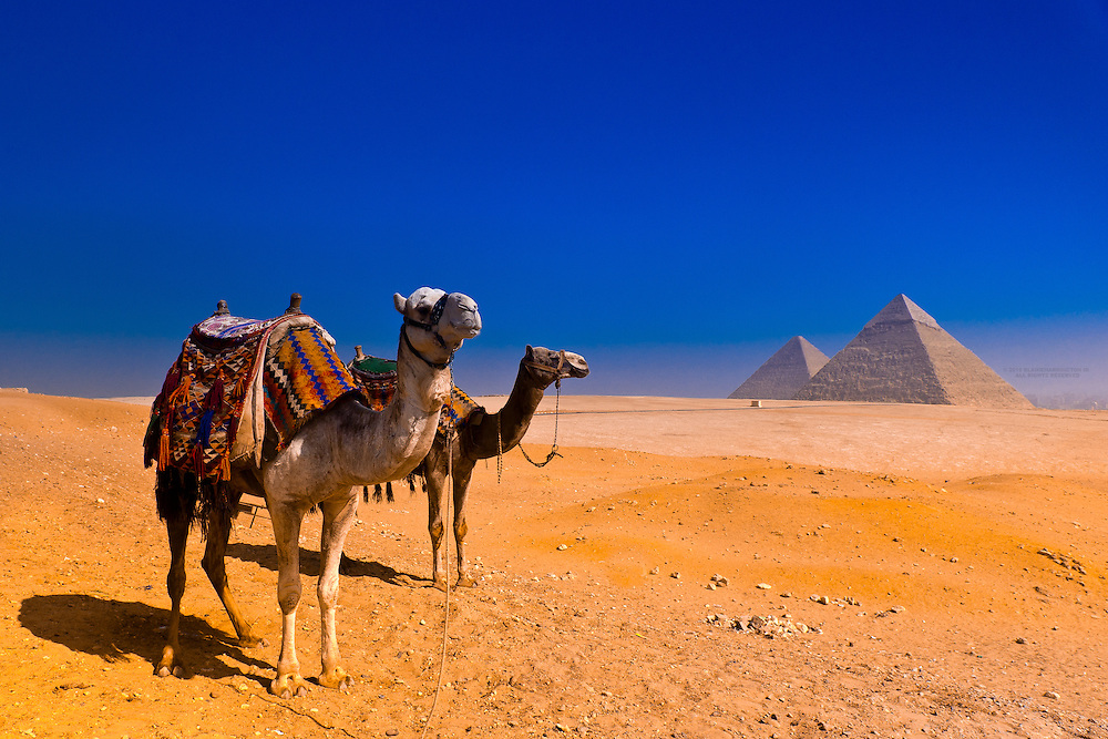 Camels at the Great Pyramids of Giza, outside Cairo, Egypt