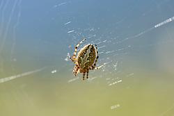 Eikenbladspin, Aculepeira ceropegia