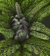 False color Scanning Electron Micrograph (SEM) of the new growth at the tip of the bud of a marijuana plant (Cannabis sativa). The plant produces tetrahydrocannabinol (THC), the active component of cannabis when used as a drug. The filed of view in this image is 4 mm wide.