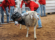 Child Sheep Racing<br /> <br /> Mutton busting is an event held at rodeos similar to bull riding or bronc riding, in which children ride or race sheep<br /> In the event, a sheep is held still, either in a small chute or by an adult handler while a child is placed on top in a riding position. Once the child is seated atop the sheep, the sheep is released and usually starts to run in an attempt to get the child off. Often small prizes or ribbons are given out to the children who can stay on the longest. There are no set rules for mutton busting,<br /> The vast majority of children participating in the event fall off in less than 8 seconds. Age, height and weight restrictions on participants generally prevent injuries to the sheep, and implements such as spurs are banned from use. In most cases, children are required to wear helmets and parents are often asked to sign waivers to protect the rodeo from legal action in that event.<br /> <br /> Photo shows: Amarillo, Texas, USA - Reid Watkins, age 7, loses his grip at the mutton bustin' competition at the Tri-State Fair rodeo in Amarillo, Texas.<br /> ©Exclusivepix