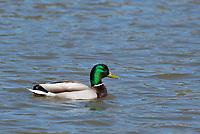 Mallard drake, Anas platyrhynchos, swimming on Upper Klamath Lake, Oregon