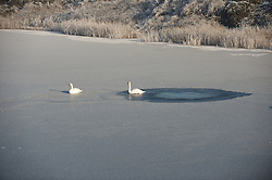 © Licensed to London News Pictures. 17/01/2013..South Gare, Teesside, England..An ice cold winter fog blankets an area known as South Gare on Teesside as these swans sit it out on an ice covered pond...Photo credit : Ian Forsyth/LNP
