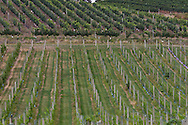Photo Randy Vanderveen.Oliver, BC.Vineyards have taken over from the traditional orchards in  the Okanagan Valley.