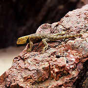 Tiny gekko in the Inner Canyon of the Grand Canyon, Grand Canyon National Park, Arizona.